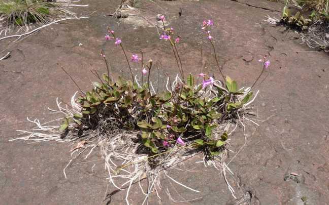 Orquídeas-Rupícolas