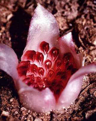 Orquídeas-Saprófitas
