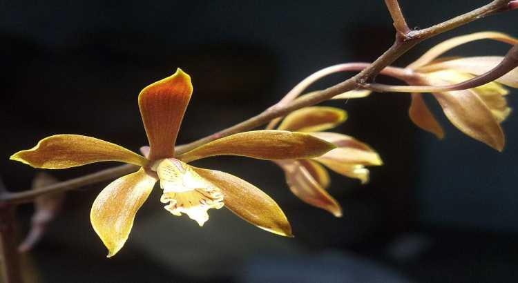 Orquídeas Encyclia - Principais Características e Como Cultivar 2