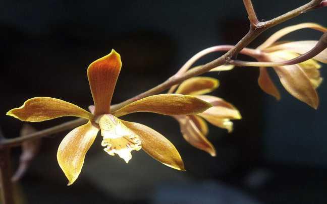 Orquídeas-encyclia