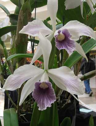 Cattleya-purpurata