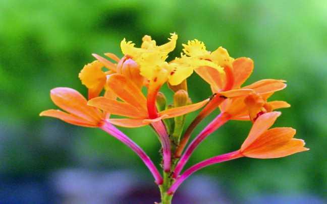 Epidendrum-fulgens