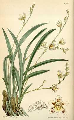 Koellensteinia-graminea