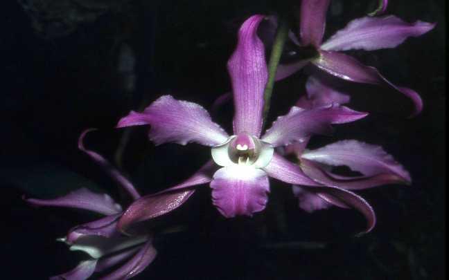 Laelia-autumnalis