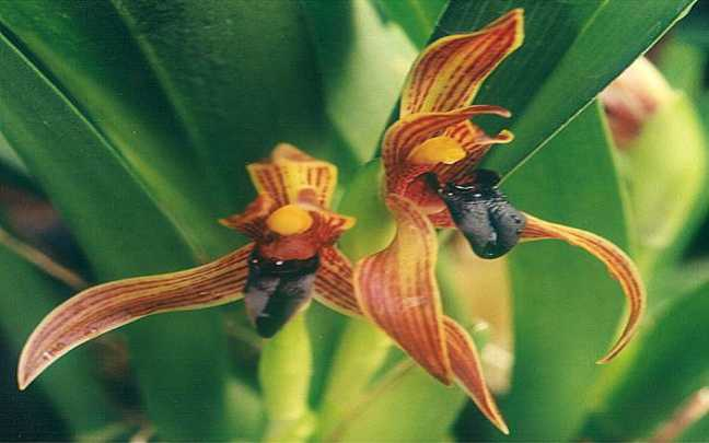 Maxillaria-cucullata