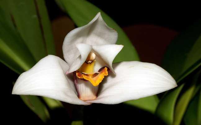 Maxillaria-grandiflora