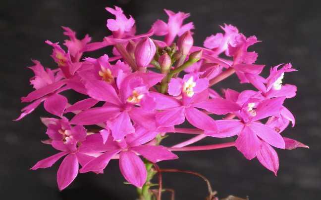 Orquídeas-Epidendrum