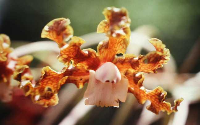 Orquídeas-Laelia
