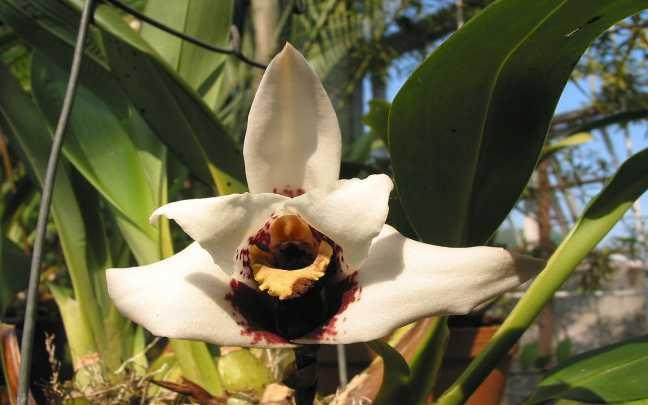 Orquídeas-Maxillaria