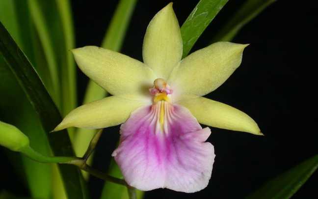 Orquídeas-Miltonia