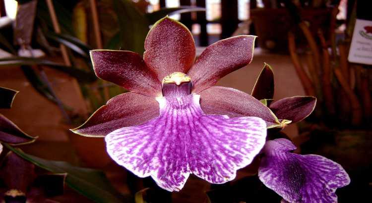 Orquídeas Zygopetalum - Descubra Os Segredos Para Cultivá-las 40