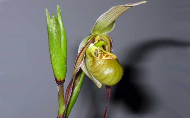 Phragmipedium-caricinum-1