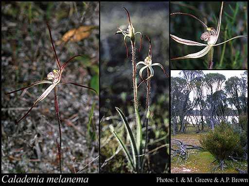 Caladenia-melanema
