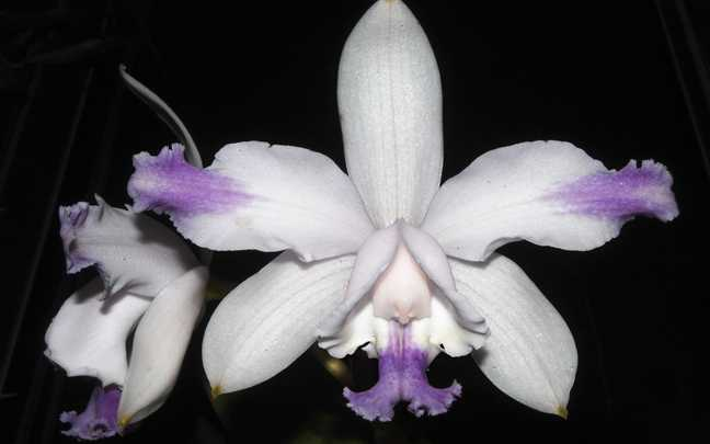 Cattleya-intermedia-10