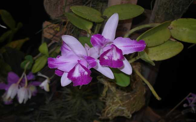 Cattleya-intermedia-3