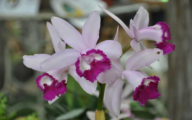Cattleya-intermedia-8