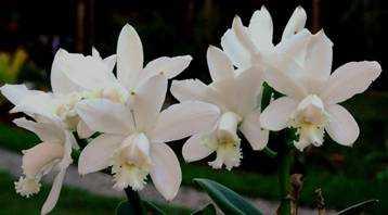 Cattleya-intermedia-alba