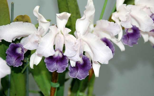 Cattleya-lawrenceana