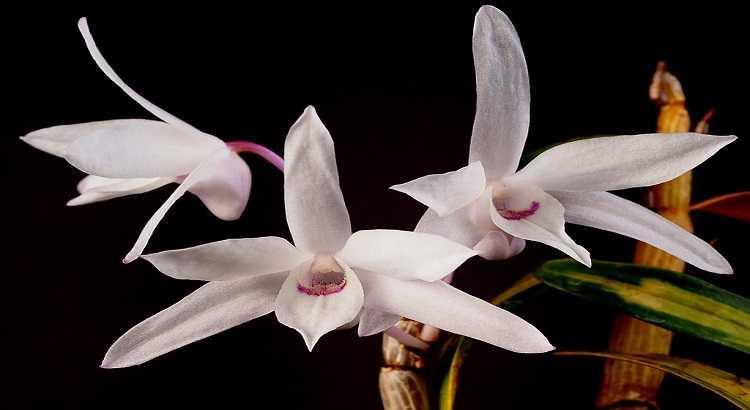 Dendrobium Moniliforme - Aprenda Tudo Sobre Essa Orquídea 4