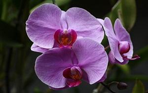 Dendrobium-orquídea-epífita