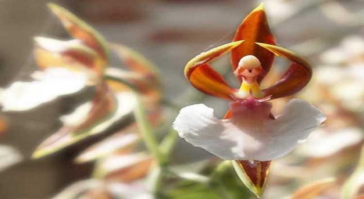 Orquídea Bailarina - Veja Suas Fotos, Curiosidades e Muito Mais 21
