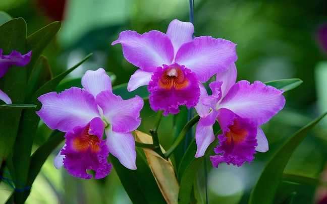 Orquídea-Com-Flores