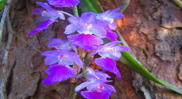 Orquídeas Aerides - Principais Características e Como Cultivá-las 17
