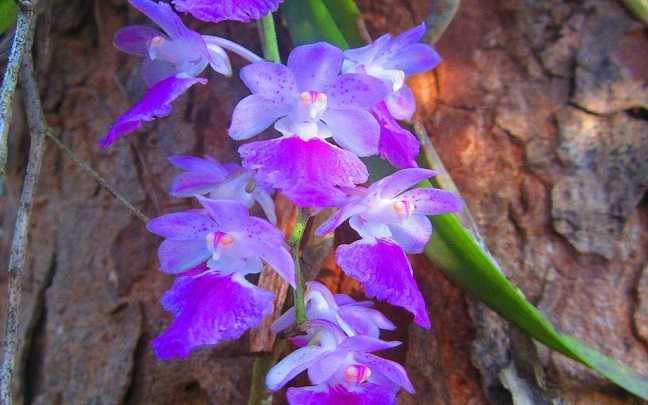 Orquídeas-aerides