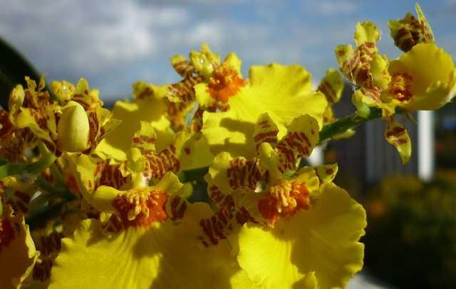 Orquídeas-oncidium