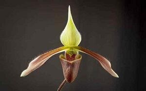Paphiopedilum-orquídea-terrestre