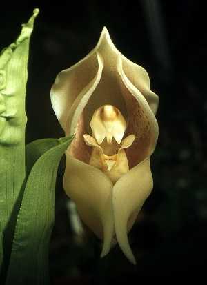 anguloa-uniflora