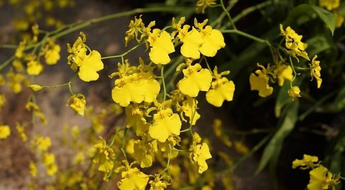 Chuva-de-ouro-com-flores