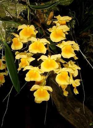 Dendrobium-Agregatum-2