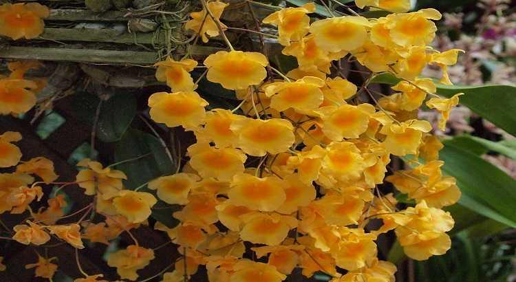 Dendrobium Agregatum (lindleyi) - Aprenda Como Cuidar Dessa Orquídea 8