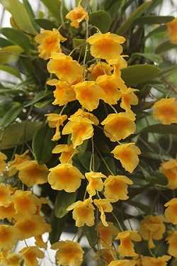 Dendrobium-Agregatum