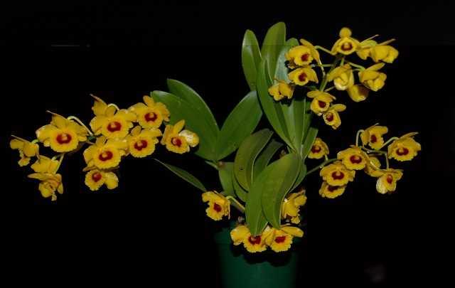 Dendrobium-Chrysotoxum-1