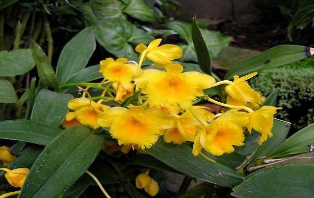 Dendrobium-Chrysotoxum-2