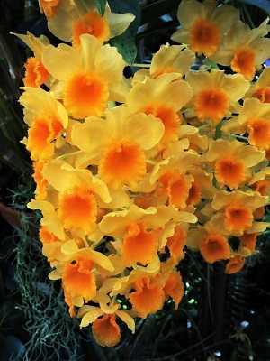 Dendrobium-Chrysotoxum-3