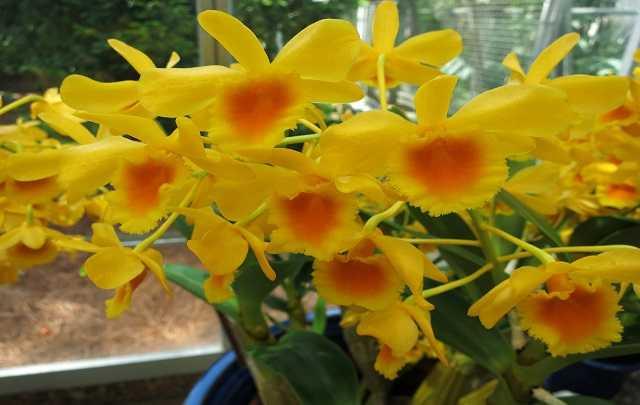 Dendrobium-Chrysotoxum-4