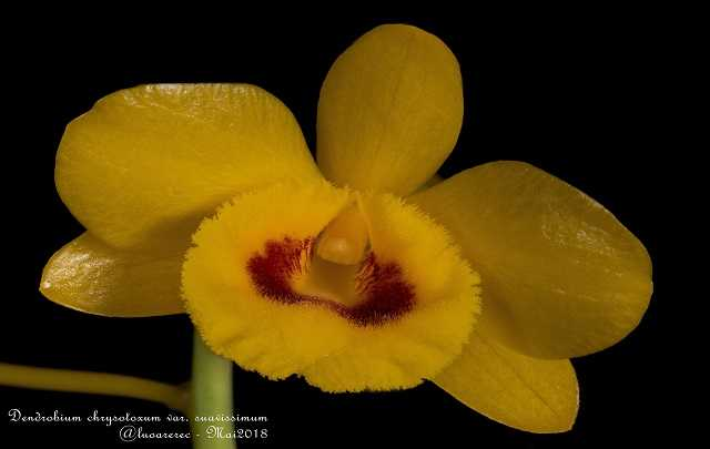 Dendrobium-Chrysotoxum-Flores
