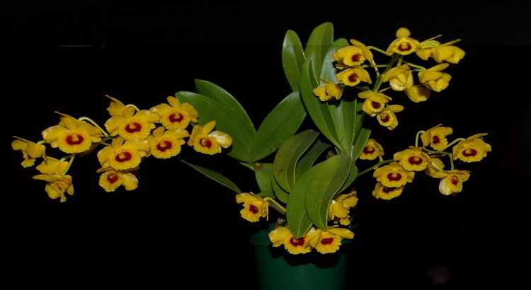 Dendrobium Chrysotoxum - O Guia Passo a Passo Para Cuidar Delas 8