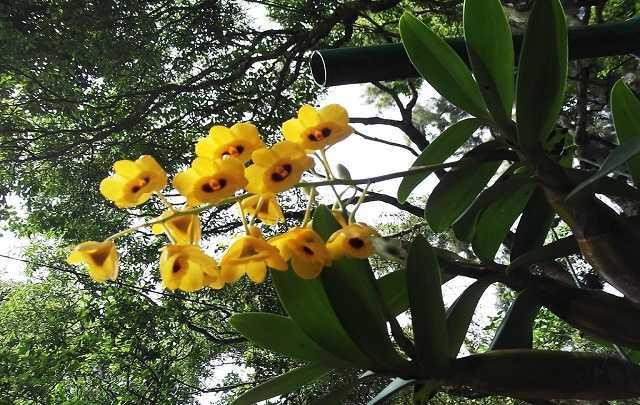 Dendrobium-Chrysotoxum
