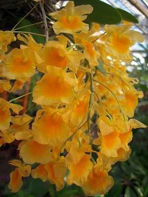 Dendrobium-Lindleyi-2