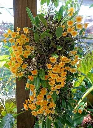 Dendrobium-Lindleyi-3