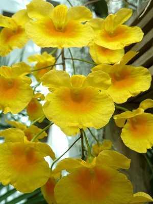 Dendrobium-Lindleyi