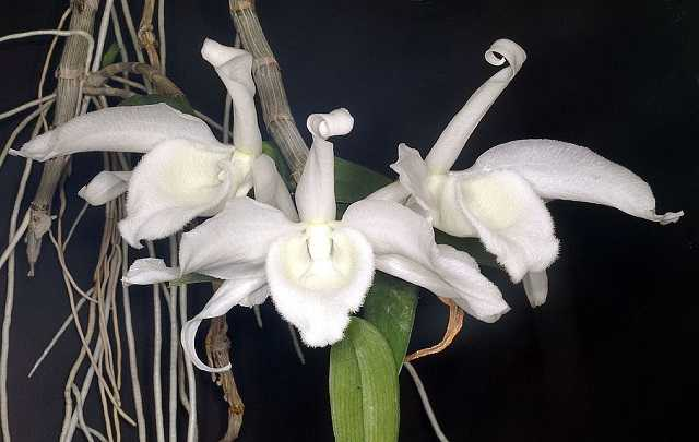 Dendrobium-anosmum-1