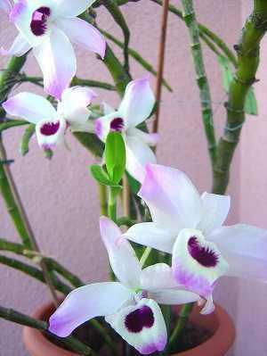 Dendrobium-anosmum-5
