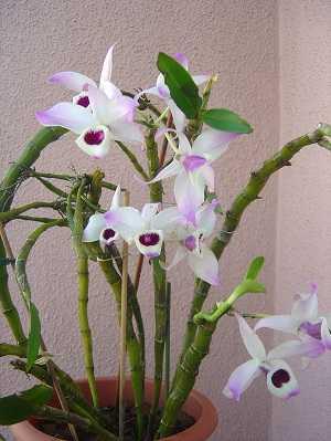 Dendrobium-anosmum-6