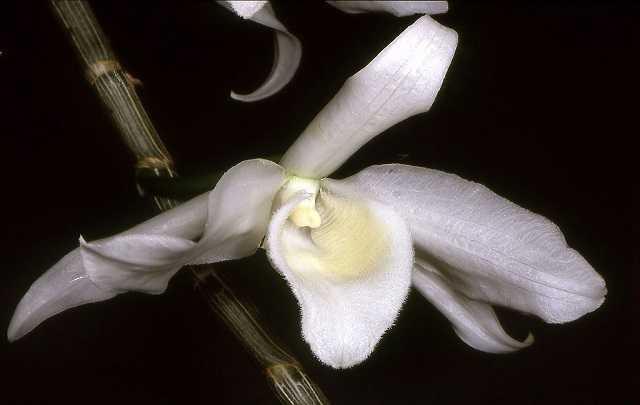 Dendrobium-anosmum-alba