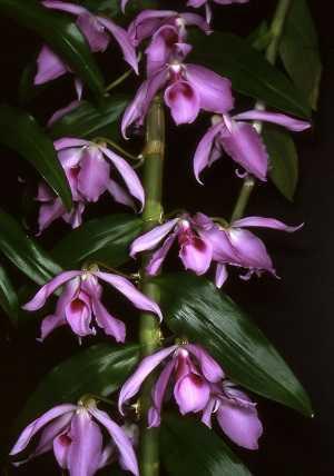 Dendrobium-anosmum
